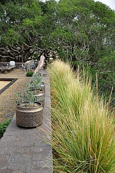MUHLENBERGIA species 'Mexico', Big Mexican Muhly