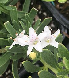 MYOPORUM parvifolium 'Davis', Creeping Boobialla