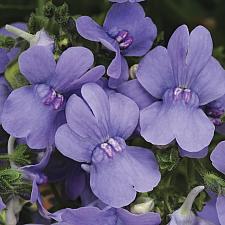 NEMESIA hybrid 'Blue Lagoon', Nemesia