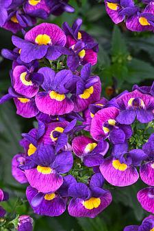 NEMESIA Escential 'Sugarberry', Nemesia Escential Series