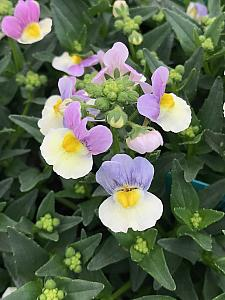 NEMESIA hybrid French Connection 'Easter Bonnet', Nemesia