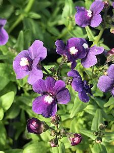 NEMESIA 'Honey Dark Blue', Nemesia
