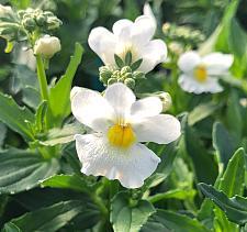 NEMESIA 'Honey White', Nemesia