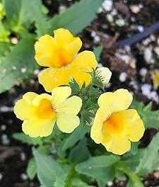 NEMESIA hybrid Nessie Plus 'Yellow', Nemesia Nessie Series