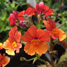 NEMESIA hybrid Sunsatia 'Blood Orange', Sunsatia Nemesia