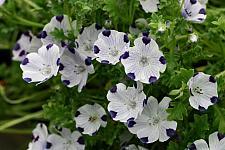 NEMOPHILA maculata, Fivespot