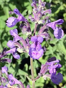 NEPETA racemosa 'Walker's Low', Catmint