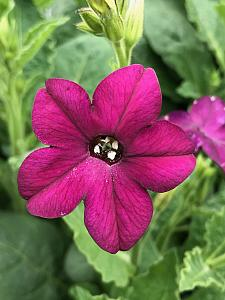 NICOTIANA x sanderae 'Perfume Deep Purple', Jasmine or Flowering Tobacco