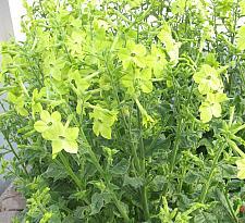 NICOTIANA x sanderae 'Perfume Lime', Jasmine or Flowering Tobacco