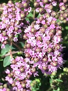 ORIGANUM mircrophyllum x 'Dawn',