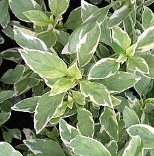 OCIMUM x citriodorum 'Pesto Perpetuo' (Basil), Sweet Basil, Common Basil