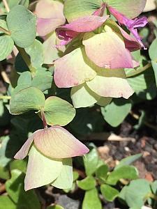 ORIGANUM 'Kent Beauty' (O. rotundifolium 'Kent Beauty'), Oregano