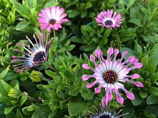 OSTEOSPERMUM ecklonis 'Astra Pink Spoon', Cape Daisy
