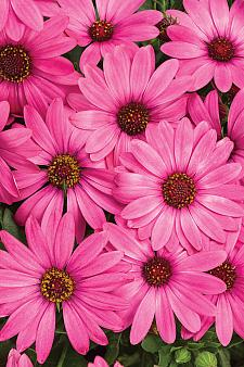 OSTEOSPERMUM Bright Lights 'Berry Rose', Cape Daisy, African Daisy