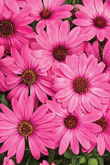 OSTEOSPERMUM Bright Lights 'Berry Rose', Cape Daisy, African Daisy