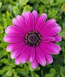 OSTEOSPERMUM Bright Lights 'Purple', Cape Daisy, African Daisy