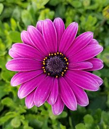 OSTEOSPERMUM Bright Lights 'Purple', Cape Daisy, African Daisy
