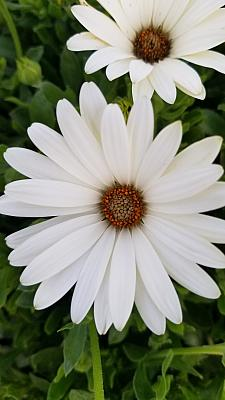 OSTEOSPERMUM Bright Lights 'White', Cape Daisy, African Daisy