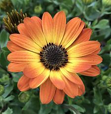 OSTEOSPERMUM 'Margarita Orange Flare', Cape Daisy, African Daisy