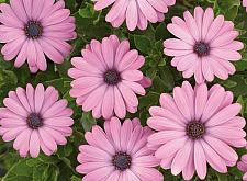 OSTEOSPERMUM ecklonis 'Ostica Pink Improved', Cape Daisy, African Daisy