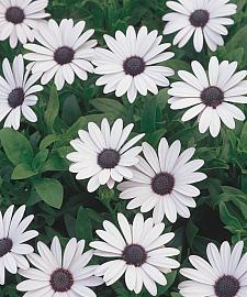 OSTEOSPERMUM hybrid 'Soprano® White', Cape Daisy