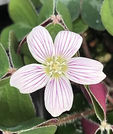 OXALIS oregana 'Klamath Ruby', Redwood Sorrel or Oregon Oxalis