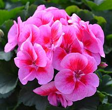 PELARGONIUM interspecific Sarita 'Lilac Splash', Sarita Series, Cross of Ivy and Zonal Geranium