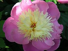 PAEONIA lactiflora 'Bowl of Beauty, Bush Peony (herbaceous)