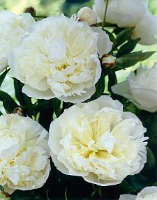 PAEONIA lactiflora 'Duchesse de Nemours', Bush Peony (herbaceous)