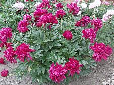 PAEONIA lactiflora 'Karl Rosenfeld', Bush Peony (herbaceous)
