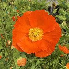 PAPAVER nudicaule 'Champagne Bubbles Orange' (Iceland Poppy), Icelandic Poppy