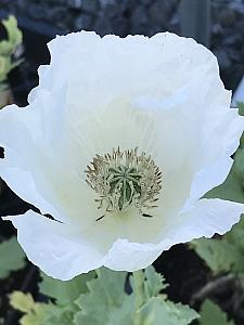 PAPAVER somniferum 'Sissinghurst White', Poppy