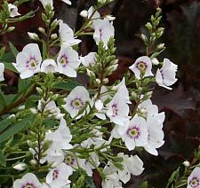 PARAHEBE linifolia (syn. HEBE, VERONICA linifolia),