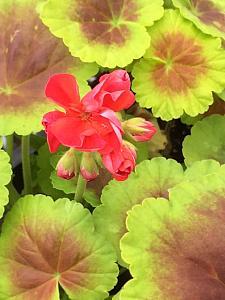 PELARGONIUM x hortorum Brocade 'Fire', Type: Fancy Leaf Zonal Geranium