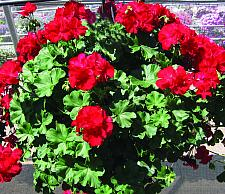 PELARGONIUM interspecific hybrid 'Calliope Large Dark Red', Cross of Ivy and Zonal Geranium