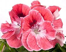 PELARGONIUM domesticum 'Elegance Sunrise', Regal, Martha Washington Geranium