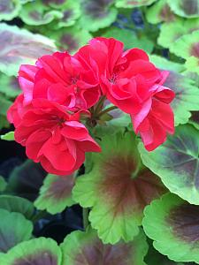 PELARGONIUM x hortorum Brocade 'Fire Night', Type: Fancy Leaf Zonal Geranium