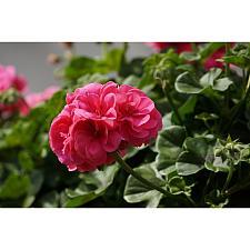 PELARGONIUM peltatum Great Balls of Fire 'Pink', Ivy Geranium