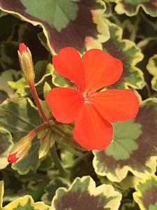 PELARGONIUM x hortorum 'Mrs. Pollock', Type: Fancy Leaf Zonal Geranium