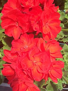 PELARGONIUM x hortorum 'Patriot Bright Red', Zonal Geranium