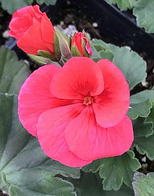 PELARGONIUM interspecific Sarita 'Wild Salmon', Sarita Series, Cross of Ivy and Zonal Geranium