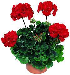 PELARGONIUM x hortorum 'Tango Dark Red', Zonal Geranium