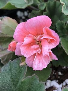 PELARGONIUM x hortorum 'Tango Salmon' ('Montevideo'), Zonal Geranium
