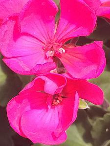 PELARGONIUM x hortorum 'Tango Violet 10' ('Eclipse Violet'), Zonal Geranium