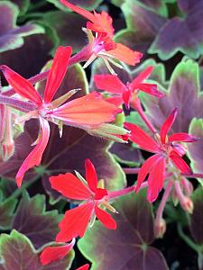 PELARGONIUM x hortorum 'Vancouver Centennial', Type: Stellar (Fancy Leaf Zonal Geranium)