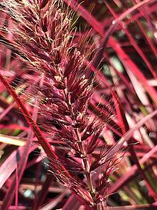 PENNISETUM setaceum 'Fireworks', Variegated Fountain Grass (Ornamental grass)