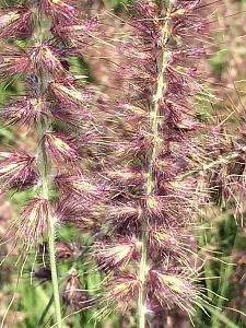 PENNISETUM orientale 'Karley Rose', Oriental Fountain Grass (Ornamental Grass)