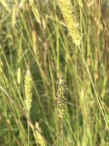 PENNISETUM spathiolatum, Slender Veldt Grass, Fountain Grass