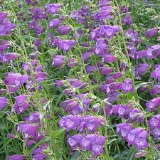 PENSTEMON x mexicali 'Pikes Peak Purple', Border or Garden Penstemon, Beard Tongue