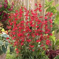 PENSTEMON 'Red Riding Hood', Border or Garden Penstemon, Beard Tongue